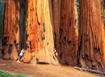 Гигантските секвои в Калифорния-САЩ