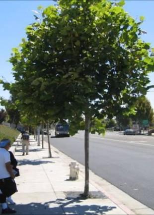 Поливане на младите дръвчета по софийските улици
